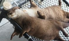 Passed out otters! River Otter, Sea Otter, Cute Little Animals, Cute Funny Animals, Alpacas, Otter Pops, Baby Otters, Fauna, My Animal