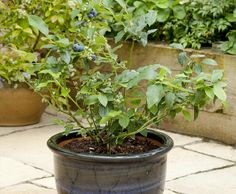 growing a blueberry in a container