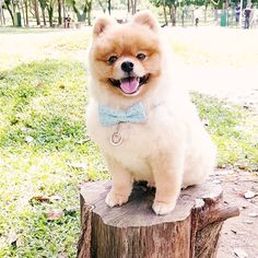 Counting down to many good things to come! Hope y'all are having a great FriYAY!   Starstar x Zig Zagging @starstarfurballs  Shop online www.bowtix.com #bowtixpets #btxcollars Things To Come, Good Things, Pet Collars, Pet Accessories, Pomeranian, Counting, Product Launch, Teddy Bear, Pets