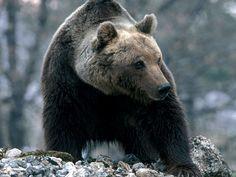 In Italia abbiamo un orso speciale. Vive in Abruzzo o meglio nel parco interregionale di Abruzzo, Lazio e Molise, sua ultima roccaforte. Si tratta di una s