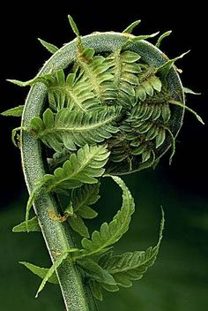 FERN - Mother Nature is incredibly beautiful. Just look at this fern. This is a Fibonacci spiral, or ratios if you've heard about them. The pattern is throughout nature. Fern Frond, Patterns In Nature, Nature Pattern, Natural World, Amazing Nature, Belle Photo, Shades Of Green, Planting Flowers, Flowers Garden