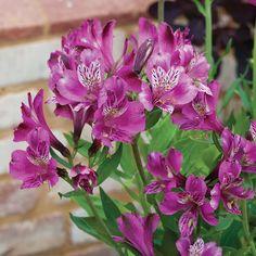 Alstroemeria 'Butterfly Hybrids' plug plants   Thompson & Morgan