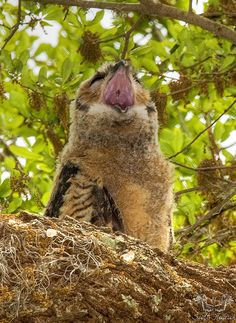 Yawning Baby Great Horned Owl