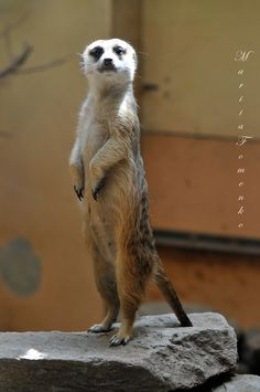 Meerkat.  She looks so proud.