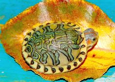 Pastel Red Ear Slider... by Ivy Mckenzie, via Flickr