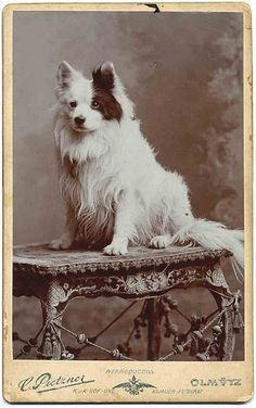 Vintage photo of fluffy white dog with large black spot