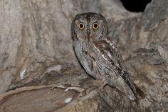 Common Scops Owl (Otus scops). Photo by Assaf Gavra.