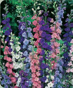 Pretty pink, lavendar, purple and white annuals