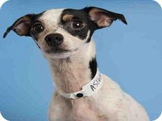 Phoenix, AZ - Rat Terrier. Meet KATY, a dog for adoption. http://www.adoptapet.com/pet/13570001-phoenix-arizona-rat-terrier