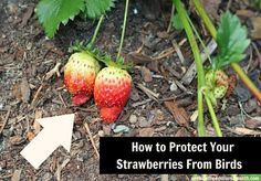 Use bird netting to protect your strawberries from birds.
