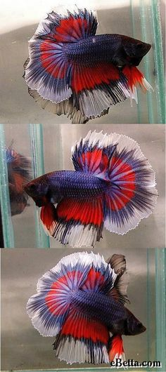 Here is a tri-color butterfly male betta. He is red, blue, and white. And this beta fish is a halfmoon.