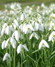 Snödroppar | Blomsterlökar | Bakker Holland Daffodil Bulbs, Bulb Flowers, Large Flowers, White Flowers, Summer Flowering Bulbs, Summer Bulbs, Spring Bulbs, Planting Bulbs, Planting Flowers