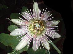 Passiflora gibertii flower
