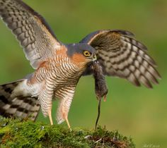 Sparrowhawk by Rob Cross, via 500px, (I've had sparrow hawks, and this is no sparrow hawk like I've ever seen!)