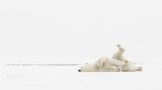 Evening stretch - Pinned by Mak Khalaf From a magic moment with a polar bear at Svalbard 2014. Animals AnimaliaArcticMammaliaNordvest-Spitsbergen nasjonalparkNorwayPolar bearRaudfjordenSvalbardUrsus maritimuscleaningiceisbjørnlying downnasjonalparkrovpattedyrsnowwhitewinter by kimabel