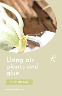 Learn how to mount your air plants properly using glue and other materials to make sure that they grow healthy and happy. #modernairplants Feng Shui Plants, Orchid Fertilizer, Hanging Air Plants, Unique Plants, Plant Needs, Canning, Healthy, Succulents, Group