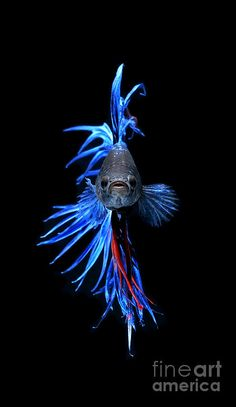 Blue Betta Fish Photograph  - Blue Betta Fish Fine Art Print Source: http://fineartamerica.com/featured/blue-betta-fish-visarute-angkatavanich.html #Blue Betta Fish #underwater