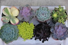 "8 LARGE SUCCULENT PLANTS 4"" containers on Etsy, $34.00"