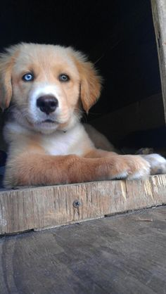 Rottweiler Golden Retriever Mix Dogs Pinterest Rottweiler