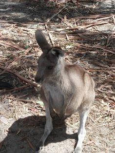 Bwana joen kynästä: Kenguru potkii Darwinin elämänpuun nurin