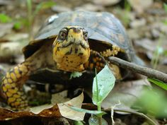 eastern box turtle - snapping turtle