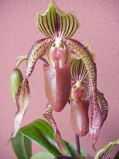 Paphiopedilium, Lady's Slipper Orchid...astounding!: