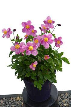 Pink Hydrangea, Pink Flowers, Lomandra, Flower Pots, Potted Flowers