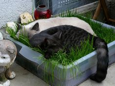 Cat Care Indoors DIY Cat Grass - Make this awesome indoor grass lounge for your cat and watch them be happier and healthier! Cat Grass, Grass For Cats, Plants For Cats, Gato Gif, Cat Hacks, Gatos Cats, Cat Garden, Balcony Garden, Indoor Garden