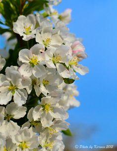 Apple flowers in spring 2012
