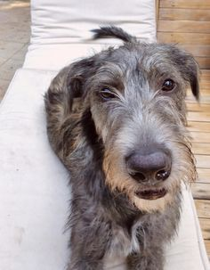 Irish Wolfhound puppy Keela