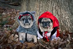 Little Red Riding Pug