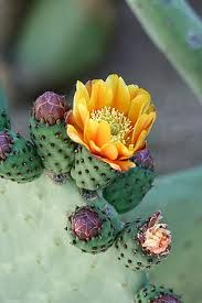 A cactus garden is easy to maintain, and a popular choice if you live in an arid climate. Here are some good advice and tips to create a nice cactus garden. Desert Flowers, Desert Plants, Exotic Flowers, Beautiful Flowers, Purple Flowers, Cacti And Succulents, Planting Succulents, Planting Flowers, Flowers Garden