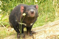The Tasmanian Devil Conservation Park, just outside Hobart on the road to Port Arthur, is a key site for the protection of these small, black-furred whirlwinds, which are threatened by a serious disease in the wild.   Read more: http://www.lonelyplanet.com/australia/travel-tips-and-articles/top-10-outdoor-adventures-in-tasmania#ixzz3AlCS5CyI  Get to know a Tasmanian Devil. Image by Alan Crouch / CC BY 2.0