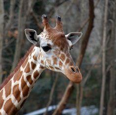 Giraffe At The RIVERBANKS ZOO In Columbia, SC.