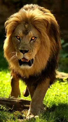 A VERY Handsome Male Lion! In memory of Cecil, the Lion that was poached. Beautiful Lion, Animals Beautiful, Lion Pictures, Animal Pictures, Animals And Pets, Cute Animals, Wild Animals, Gato Grande, Male Lion