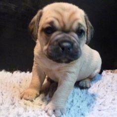 My friend's adorable new pup, Charlie the puggle (pug & beagle cross)