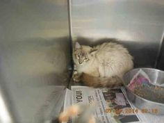 URGENT!! Urgent Cats of Broward ** Whoa! How is a gorgeous, fluffy, young (2 years old) kitty like this still camped out in that corner? Who wants to make this lynx point/ragdoll mix a member of their family?? Shelter staff favorite - please share! A1672388  Adoption fee is only $12 ** ~Broward County Animal Care and Adoption(Main Shelter)~~ Ft. Lauderdale, FL 33315  shelters official web page: http://www.broward.org/animal/Pages/Default.aspx or contact the shelter at 954-359-1313.