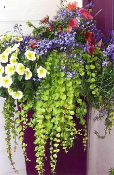 Container Garden ideas, creeping jenny is a great container choice and is hardy in zones 4, 5, and 6