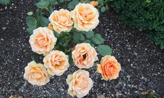These flowers from the royal garden look stunning. Eight roses actually symbolizes that you will be forever faithful. Copyright: Rosenborg Castle / Rosenborg Slot