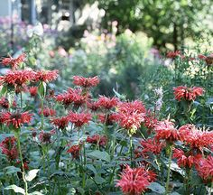 Bee balm - deer resistant, full sun to part shade, to 3'x3'