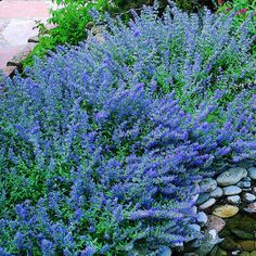Catmint (Nepeta Faassenii) Loose spikes of lavender-blue flowers cover the soft, silvery-green mounds in late spring and early summer. As soon as blossoms fade, shear plants back by half, or cut faded flower stems to the ground to encourage rebloom. Perrenial Flowers, Flowers Perennials, Planting Flowers, Pruning Hydrangeas, Flower Gardening, Flowers Garden, Fall Plants, Garden Plants, Best Perennials