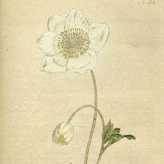 Flower painting Botanic art Botanical chart by mapsandposters, $8.88