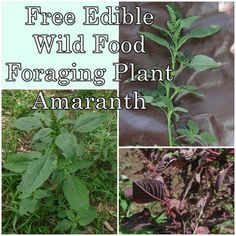 Free Edible Wild Meals Foraging Plant Amaranth.  Have a look at even more at the picture link