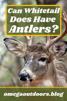 There are many anomalies in the #whitetail world. One of them is the fact that sometimes female whitetails can grow #antlers. You may have seen reports of #deer shot with huge antlers and claim that the deer was a doe. The question is if it is a true antlered doe or if there is another possibility?