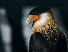 Crested Caracara, a noble looking member of the falcon family, his range covers South America, Central America, Mexico, and the South West of the US.