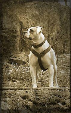Lucky 7 Bulldogs 46 Best Boxador images...