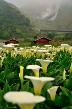 Where the Calla Lilies Grow | Content in a Cottage