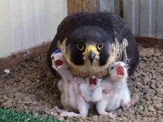 FALCÃO PEREGRINO com sua ninhada de filhotes.