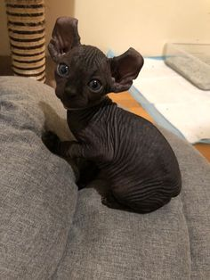See more pics of Sphynx kittens Rare Cats, Cats And Kittens, Big Cats, Baby Hairless Cat, Cute Baby Animals, Funny Animals, Wild Animals, Sphinx Cat, Cute Creatures