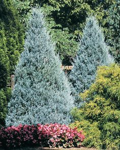 An attractive pyramidal evergreen with a broad, full habit. Striking blue foliage stays bright all year.